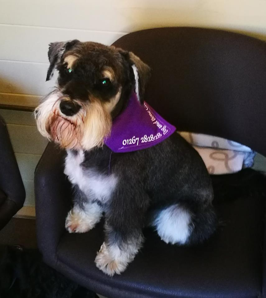schnauzer dog and bone grooming