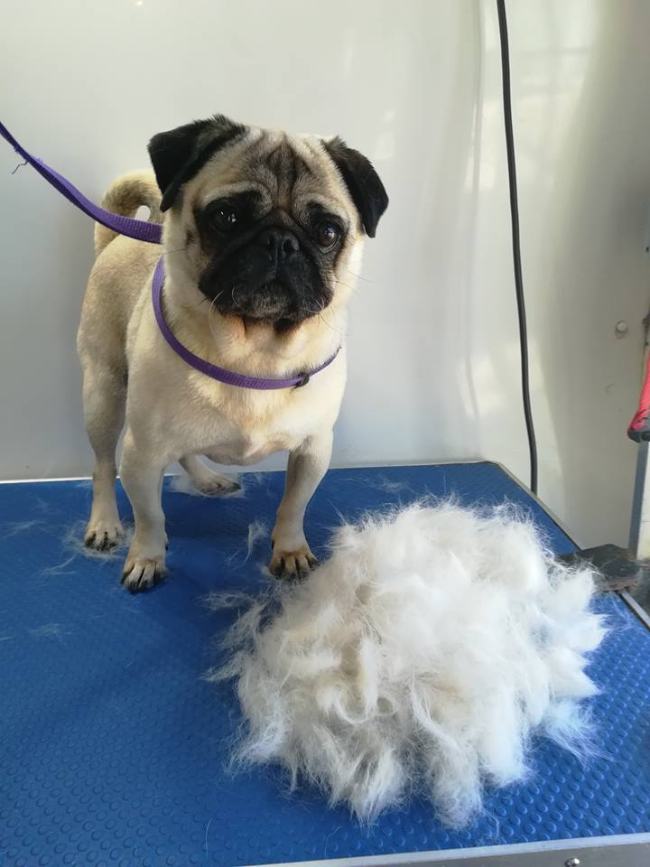 learn to groom short hair dogs